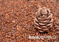 В Сибири неурожай кедрового ореха. За исключением Тувы, Алтая, Томской области
