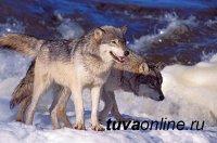 В Туве проходит конкурс на истребление волков
