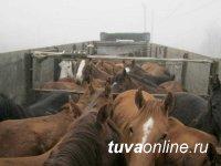 На границе Тувы и Красноярского края пресечен незаконный транзит лошадиного табуна
