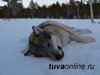 Охотники Тувы провели 29 облав на волков, одолевающих чабанские стоянки
