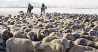 По 200 «поддерживающих» овец в 2019 году получили более ста молодых семей в Туве