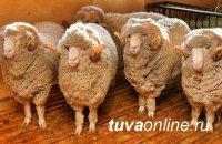 В Туву по программе «Агростартап» завезли 110 калмыцих баранов
