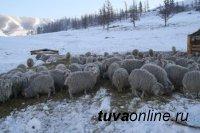 Зимовка скота в Туве проходит в нормальном режиме