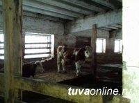 В Кызыле раскрыта кража скота, совершенная со свободного выпаса