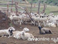 В Туве для развития овцеводства отобраны породистые баранчики