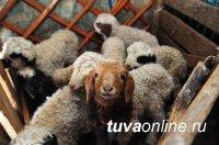 В Туве в эту окотную кампанию получили 549310 голов приплода
