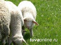 В Туве работают над совершенствованием племенного скота