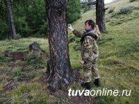 В Туве проанализируют яйцекладки вредителя леса - сибирского шелкопряда