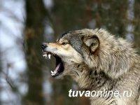 В Туве официально разрешен отстрел волков