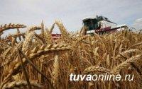В Туве средняя урожайность зерна составила 16 ц/га, в отдельных хозяйствах - до 30 ц/га