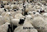"""""""Импортные"""" бараны-производители распределены по животноводческим хозяйствам Тувы"""