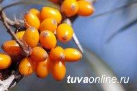 В состав «Natura Siberica» и «Рецепты бабушки Агафьи» будет входить облепиха из Тувы