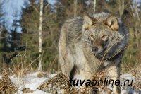 В Туве сформировали 114 бригад для охоты на волков