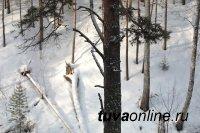 В Тоджинском районе Тувы погиб школьник, на которого в лесу упал сухостой