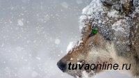 Волки в Туве за месяц задрали овец на 1 млн рублей