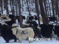 """Минсельхоз Тувы проводит пересчет поголовья скота. В хозяйстве """"Сайзырал"""" горной Монгун-Тайги - 700 яков"""
