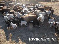 В Туве в нынешнюю окотную кампанию планируют получить более  полумиллиона ягнят