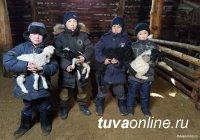 В Туве в окотную кампанию получили 559 тысяч ягнят и козлят