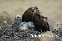 В Туву после зимовки в Персидском заливе и Туркменистане вернулся степной орел Ураган