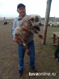 В Туве взвесили потомство от алтайских и калмыцких баранов-производителей