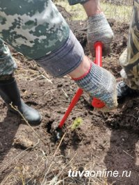 Специалисты Центра защиты леса Тувы посадили 2000 кедров в рамках акции «Сад памяти»