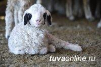 КрасноярскСтат: В Туве поголовье коз и овец на 1 января 2021 года составило 1 млн. 221 тысяч