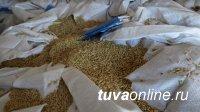 Впервые за 30 лет   Туву семенами пшеницы  обеспечило местное КФХ