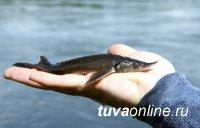 Тува: Голевская горнорудная компания выпустила в Енисей 72 376 мальков краснокнижной стерляди