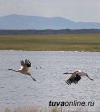 В Туве зафиксировали пару редких журавлей фауны России - стерхов