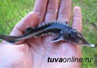 В Туве в реку Енисей выпущены 8,5 тысяч мальков стерляди
