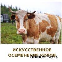 В Чеди-Холе проходит искусственное осеменение коров