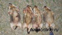 """В Туве проводят проверку по факту незаконной охоты на """"краснокнижных"""" сурков"""