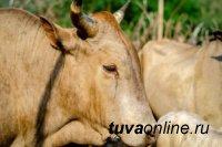 При раскопках в Туве был найден бык, выложенный из камней