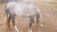 В Туве подросток украл лошадь, чтобы обменять ее на автомашину