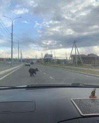 По улицам Кызыла пробежался медвежонок