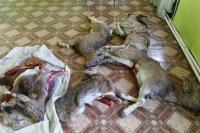 В Сут-Хольском районе полицейские проводят проверку по факту незаконной охоты на горного козла
